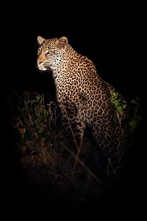 African Leppard Blick zurück in völliger Dunkelheit mit Scheinwerferlicht von einem Safari-Fahrzeug Standard-Bild - 23175424