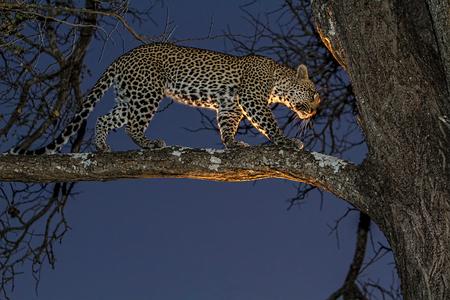 Adgile african leppard in der Dämmerung mit Licht von Safari-Fahrzeug Standard-Bild - 23175425