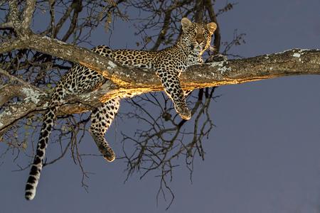 Faule afrikanischen leppard im Baum mit Lichter von Safari-Fahrzeug in der Abenddämmerung Standard-Bild - 23175436