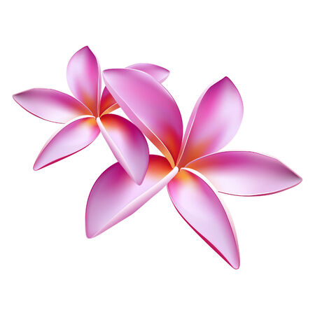Vector illustration of frangipani flower Vector