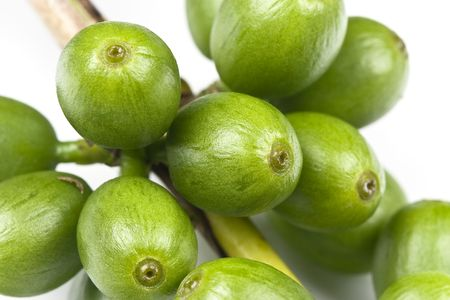 Green coffee before it is ripe, still growing, isolated on white, macro lens used. Stock Photo - 6690083