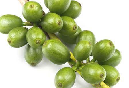 arbol de cafe: Granos de caf� en una planta de caf�