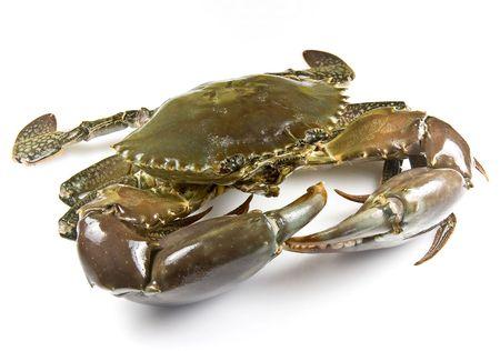 crab: Mud crab alive