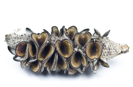 Open Banksia seed pod