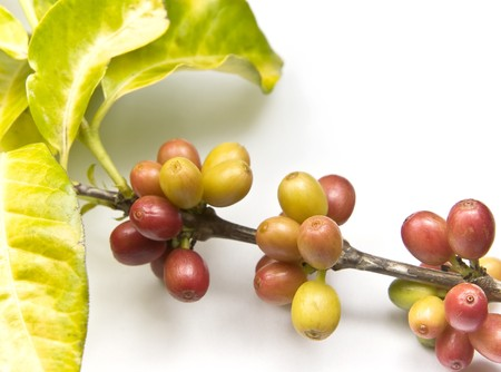 coffee tree: Ripen coffee beans on the branch. Stock Photo