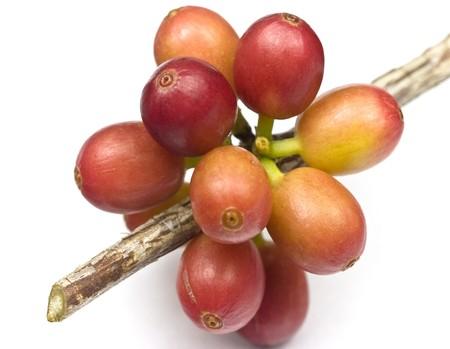 planta de cafe: Madurar los granos de café en una planta de café aislados en blanco
