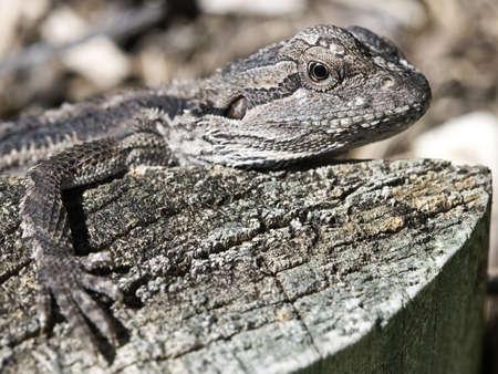 a frill: Baby Frill Neck Lizard