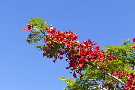 flamboyant: Poinciana Tree Flowers