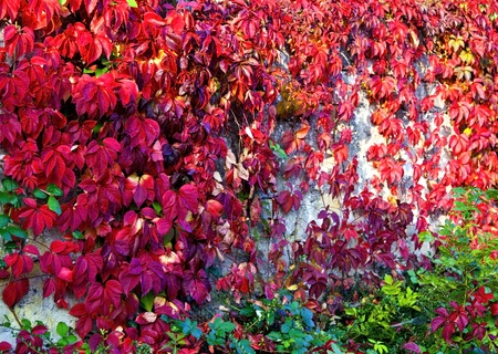Virginia creeper on the wall in autumn  photo