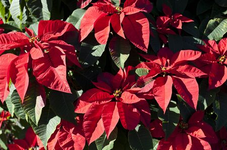 Poinsettia Red Flower photo