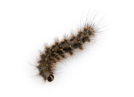 with spines: Hairy Caterpillar with dense tufts of black spines
