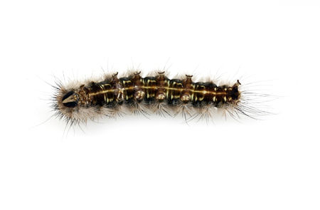 spines: Hairy Caterpillar with dense tufts of black spines