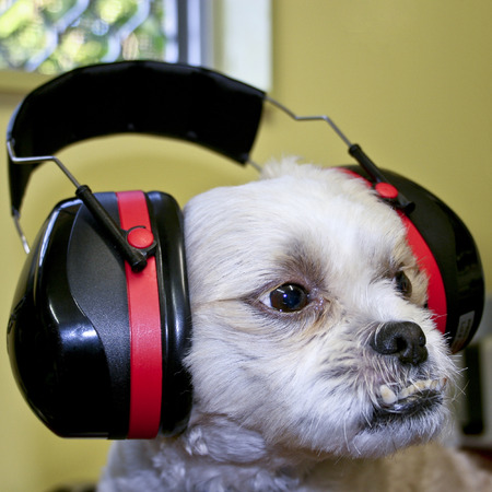 Maltese Shitzu cross breed wearing protective ear muffs Stock Photo