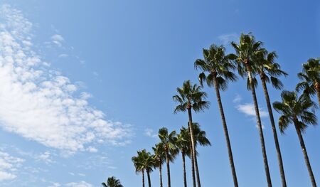 fench: The famous palm trees lining the Boulevard de la Croisette in the city of Cannes in France. The sky was blue with a few white clouds and the light from the left handside. Cannes is located in the French Riviera and it is famous for hosting the annual Cann