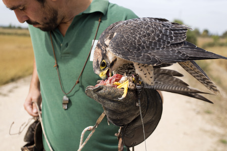 peregrine: A falconer and a peregrine falcon eating its reward after a demonstration flight Stock Photo