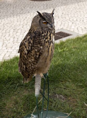 resides: The Eurasian eagle-owl Bubo bubo, a species of eagle-owl that resides in much of Eurasia. In the picture, the Portuguese bufo-real in the Royal Falconry in Salvaterra de Magos, Portugal.
