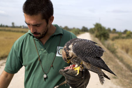bird eating raptors: A falconer and a peregrine falcon eating its reward after a demonstration flight Stock Photo
