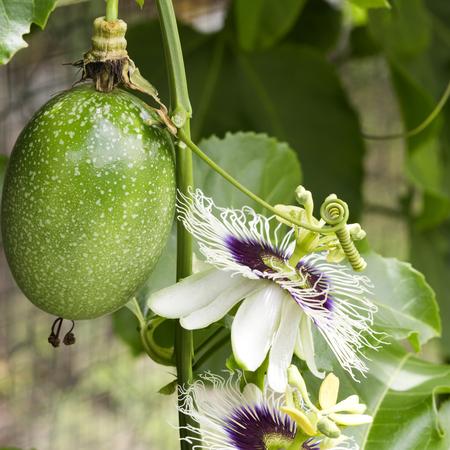 incarnate: Passion fruit flowers (passiflora incarnata) and fruit on the vine