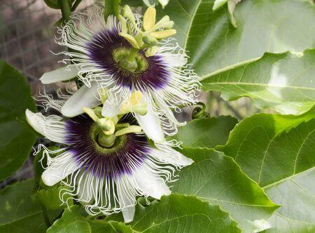 incarnate: Passion fruit flowers (passiflora incarnata) on the vine Stock Photo