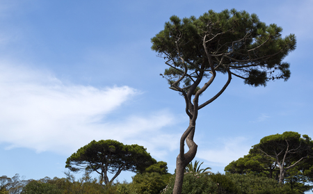 bended: Beautiful pine tree bended by the action of the strong southerly wind near Cascais, Portugal