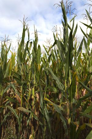 planta de maiz: El maíz, también conocido como el maíz o el maíz dulce, es una planta de grano grande domesticado por los indígenas en México en tiempos prehistóricos hace unos 10.000 años. Foto de archivo