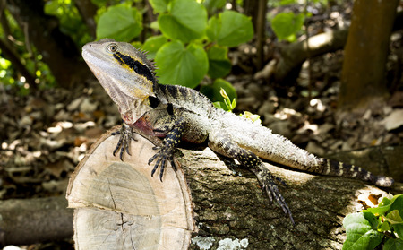 cold blooded: An Eastern Water Dragon (Intellagama lesueurii) is an arboreal agamid species native to eastern Australia from Victoria northwards to Queensland Stock Photo