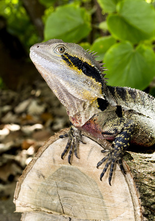 arboreal: An Eastern Water Dragon (Intellagama lesueurii) is an arboreal agamid species native to eastern Australia from Victoria northwards to Queensland Stock Photo
