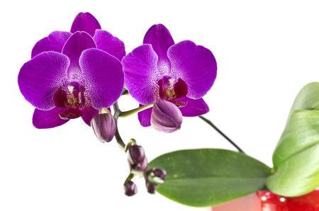 widespread: Purple orchid flower belonging to the Orchidaceae, a diverse and widespread family of flowering plants
