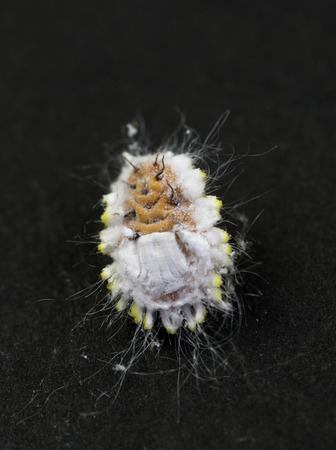 stomach bug: Mealybugs are unarmored Scale insects of the order Hemiptera, found in moist, warm climates. They are considered pests as they feed on plant juices and also act as a vector for several plant diseases. Here, view of the belly