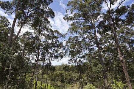 hinterland: Tall eucaliptus trees, also called gumtrees, in Yandina hinterland, Queensland, Australia