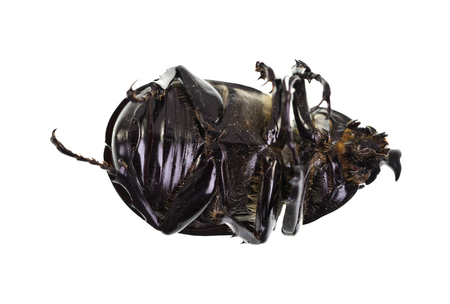 long horn beetle: The Male Rhinoceros Beetle, also called Xylotrupes Ulysses, is an insect that lives on decaying vegetable matter.