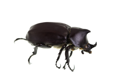 The Male Rhinoceros Beetle, also called Xylotrupes Ulysses, is an insect that lives on decaying vegetable matter.