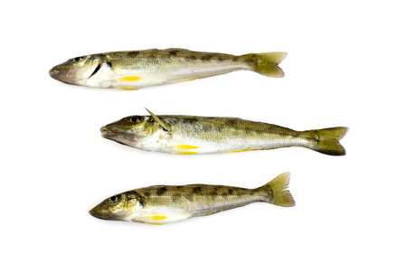 silvery: Trumpeter winter whiting (Sillago maculata) has a silvery grey back with dark blotches on the sides