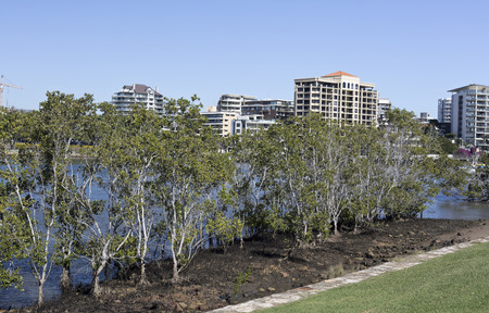 Mangroves along the banks of the Brisbane River at low tide in Brisbane, Queensland, Australia Stock Photo