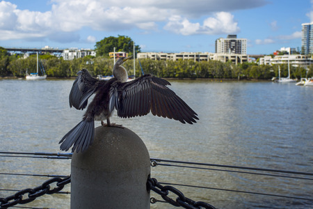 Cormorant , phalacrocorax, drying the feathers on an urban location along the Brisbane River in the Brisbane City. Stock Photo