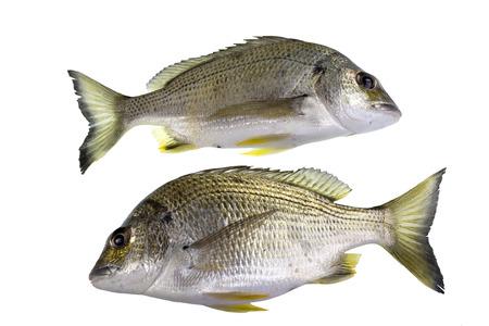 옐로 핀 도미, Acanthopagrus australis는 황색 골반과 항문 지느러미가있는 해양 및 강어귀 물고기로 대부분은 몸을 가지고 있습니다.