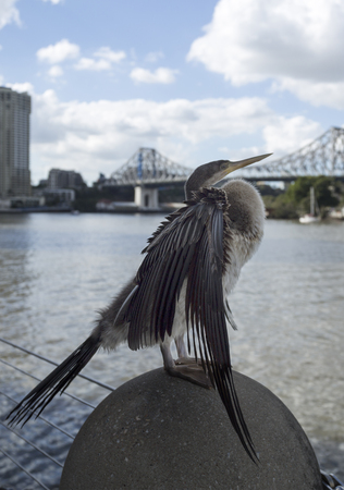 Cormorant, phalacrocorax, drying the feathers on an urban location along the Brisbane River in the Brisbane City.