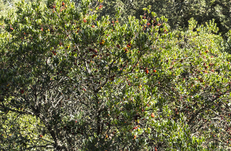 Arbutus (arbutus unedo) are small trees or shrubs native to warm temperate Mediterranean regions, with red flaking bark and edible red berries.