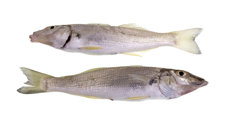 Sand whiting also known summer, yellowfin or blue-nose whiting (Sillago ciliate) is a slender and slightly compressed fish, with two parts dorsal fin