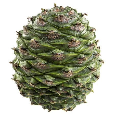 Cone of the bunya pine, Araucaria bidwillii, is a large fruit 20-35 cm in diameter and when mature release large 3-4 cm seeds or nuts. It is found naturally in south-east Queensland, Australia. 版權商用圖片