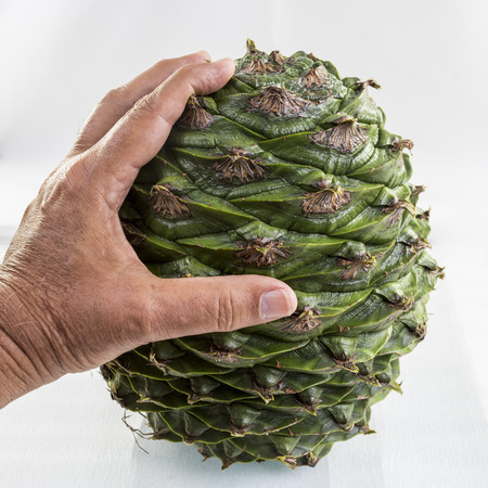 Hand holding a large cone of the bunya pine, Araucaria bidwillii, for scale. Same description as the previous image. Stock Photo