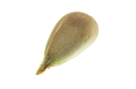 Detail of a single bunya pine seed