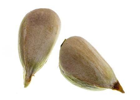 Detail of two bunya pine seeds