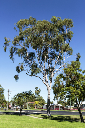 Tall and mature eucalyptus tree, of the Myrtaceae family, in a public park in Inglewood, Queensland, Australia Banco de Imagens
