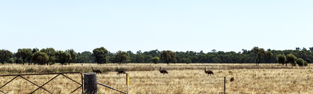 Emus foraging in a grassland near Parkes in New South Wales, Australia,