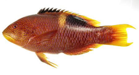 Image of an adult Goldspot Pigfish, Bodianus perditio, a sub-tropical reef fish, isolated on white background Stock Photo