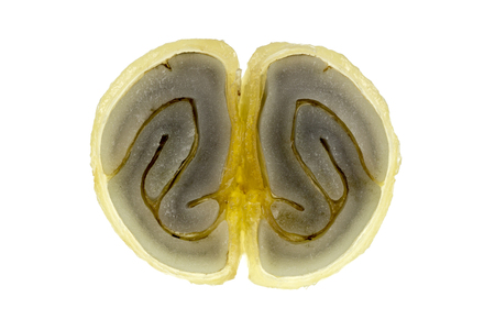 Cross-section of a fresh coffee bean showing the parchment or hull (endocarp), the silver skin (spermoderm or epidermis) and the bean (endosperm).