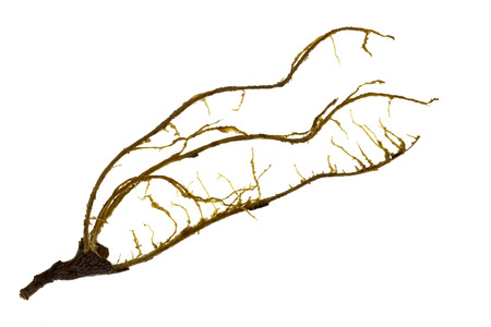 Fibers that involve the pulp of a tamarind fruit inside the shell or pod