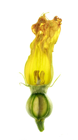 View of a dissected pumpkin female flower, or pistillate, with petals, corolla, stigma, style, ovary, sepals and calyx