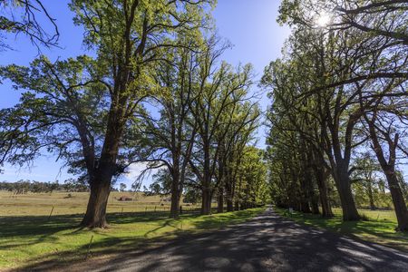 View of the magnificent tree lined avenue of over 200 English Elm trees (Ulmus procera) at Gostwyck Chapel, near Uralla, New South Wales, Australia